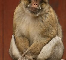 Barbary Macaque by amjaywed
