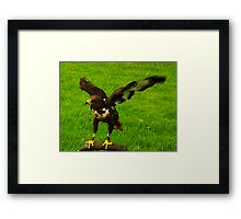 Harris Hawk #2 Framed Print