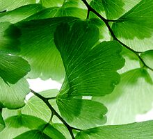Maidenhair on white 1 by Marsha Tudor