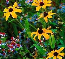 BLACKEYED SUSANS AND ASTERS,GREAT SMOKY MOUNTAINS,NP by Chuck Wickham