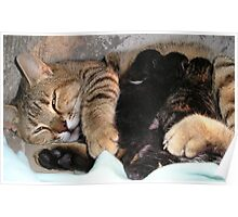 Mother Tabby Cat Suckling Four Newborn Kittens Poster