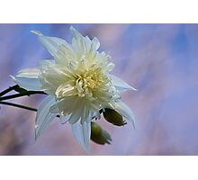 Dahlia imperialis 'California Angel' Photographic Print