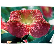 Abstract Red Morning Glory With Water Drops Poster