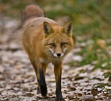 Red Fox by Jay Ryser
