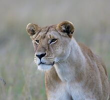 Lionness by Yves Roumazeilles