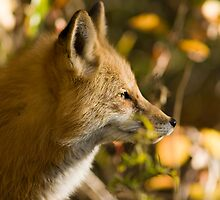 Red Fox Profile by Jay Ryser