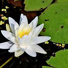 Fragrant Water Lily II by Kathleen Daley