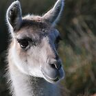 Louise the Llama by Paul Gibbons