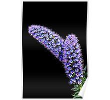 Echium [ Pride of Madeira ] Poster
