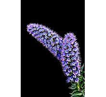 Echium [ Pride of Madeira ] Photographic Print
