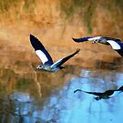 MIRROR REFLECTION OF THE EGYPTION GEESE by Magriet Meintjes