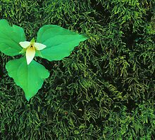 TRILLIUM AND MOSS by Chuck Wickham
