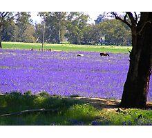 Purple Swathe Photographic Print