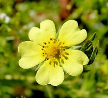 Sulfur Cinquefoil  by Kathleen Daley