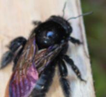 Black Carpenter Bee Sticker