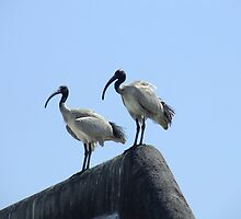 Ibis Lookout by Paul Todd