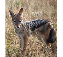 Black-Backed Jackal (Canis mesomelas), Central Kalahari Game Reserve ,Botswana Photographic Print