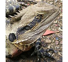 one of many lizards at Currumbin Sanctuary, Queensland (Australia) Photographic Print