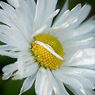 White chamomile by loiteke