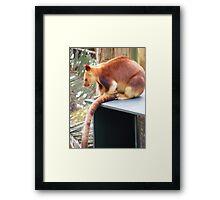red tree kangaroo, at Currumbin Sanctuary (Australia) Framed Print