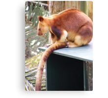 red tree kangaroo, at Currumbin Sanctuary (Australia) Canvas Print