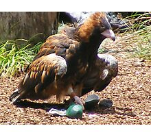 bird/owls - at Currumbin Sanctuary, Queensland (Aust) Photographic Print
