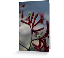 Flora - Kangaroo Paw (red) - on location Greeting Card