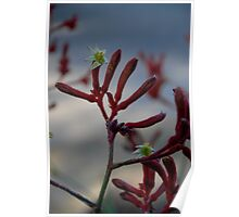 Flora - Kangaroo Paw (red) - on location Poster