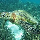 Green Sea Turtle by timmah
