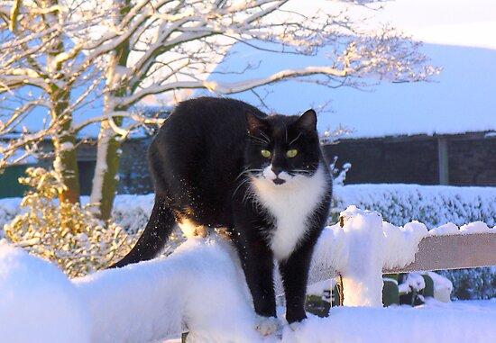 Snow Cat by Angela Harburn