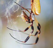 Golden Silk Spider by Freese