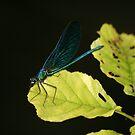 Damsel Fly by Pamela Jayne Smith