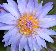 Big, blue, golden-centred lotus by soniamattson