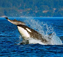 Orca Hunts Porpoise by orcagirl