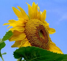 GAINT SUNFLOWER by DarrellMoseley
