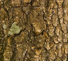 Oak Bark by Freese