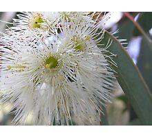 White Gum Blossom Photographic Print
