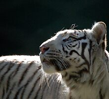 White Tiger  by pulsdesign