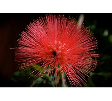 FAIRY DUSTER Photographic Print
