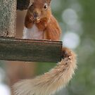 Red squirrel in the Cairngorms National Park by orchidcat