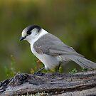 Mountain Bird by David Friederich