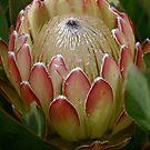 Protea top by mooksool