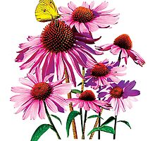 Yellow Sulphur Butterfly on Coneflower by Susan Savad