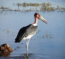 Marabou Stork, Chobe National Park, Botswana  by Adrian Paul