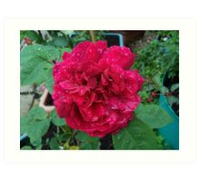 Red Rose .. after the rain 11 Art Print