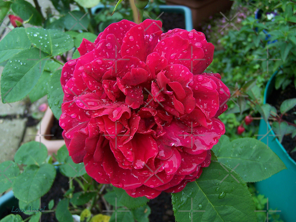 Red Rose .. after the rain 11 by LoneAngel