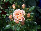raindrops on roses in the sunshine by LoneAngel