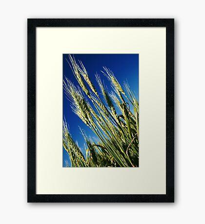 Wheat  Framed Print