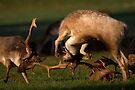 Rutting Fallow Deer by Neil Bygrave (NATURELENS)