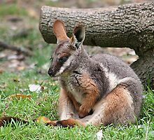 Yellow Footed Rock Wallaby by Jenny Brice